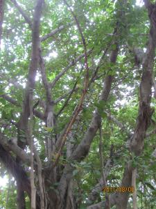 banyan-tree-ashram-040